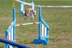 在跃迁的Whippet在狗敏捷性测试的障碍 库存图片