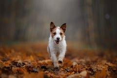 在跑在公园的秋叶的狗 滑稽和逗人喜爱的杰克罗素狗 免版税库存照片