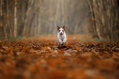 在跑在公园的秋叶的狗 滑稽和逗人喜爱的杰克罗素狗 免版税库存图片
