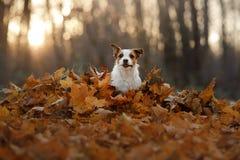 在跑在公园的秋叶的狗 滑稽和逗人喜爱的杰克罗素狗 库存照片