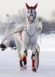 在跑马场的灰色马小跑步马品种在冬天 库存照片