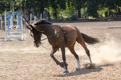 在跑马场的跑马在训练期间 库存图片