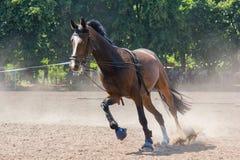 在跑马场的跑马在训练期间 免版税库存照片