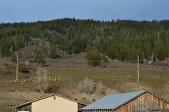 在距离的麋牧群 图库摄影