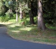 在路一边的鹿 库存照片