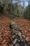 在路中间的下落的树干在叶子在秋天 免版税库存照片