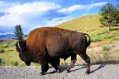 在路旁的北美野牛在黄石 库存照片
