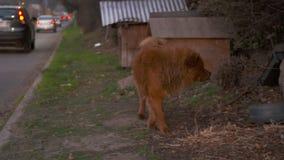 在路旁的无家可归的秋田狗,都市场面 股票视频