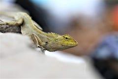 在路旁的蜥蜴,小宏指令接近的自然的动物 免版税图库摄影