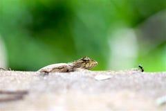 在路旁的蜥蜴,小宏指令接近的自然的动物 免版税库存图片