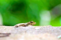 在路旁的蜥蜴,小宏指令接近的自然的动物 库存照片