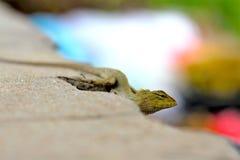 在路旁的蜥蜴,小宏指令接近的自然的动物 免版税库存照片