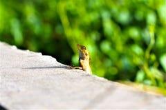 在路旁的蜥蜴,小宏指令接近的自然的动物 库存图片