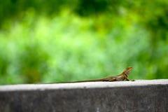 在路旁的蜥蜴,小宏指令接近的自然的动物 图库摄影