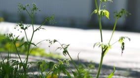 在路旁的野花与通过交通 股票录像