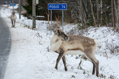 在路旁的驯鹿 免版税库存图片