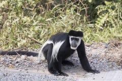 在路旁的黑白短尾猴 免版税图库摄影