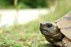 在路旁边的乌龟 免版税库存照片