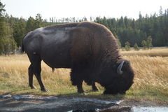 在路旁边的北美野牛 库存照片