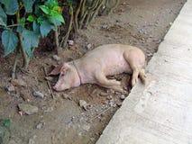 在路旁边的睡觉猪。 免版税库存照片