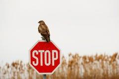 在路标的鹰 免版税库存照片