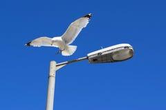 在路灯柱的海鸥 免版税库存图片