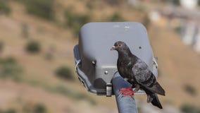 在路灯柱的鸽子 库存照片