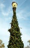 在路灯柱附近的大常春藤 免版税库存图片