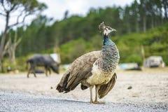 在路的一只鸟在新西兰3 免版税库存照片