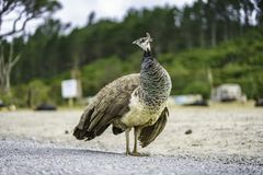 在路的一只鸟在新西兰2 图库摄影