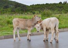 在路的三头小牛 库存图片