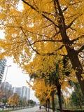 在路的两边银杏树树 库存图片