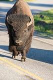 在路的偏僻的北美野牛在黄石,怀俄明,美国 库存照片