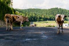 在路的几头母牛立场 免版税库存照片
