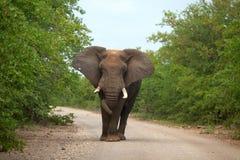 在路的大象 免版税库存照片