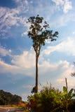 在路的孤立高大的树木 库存图片