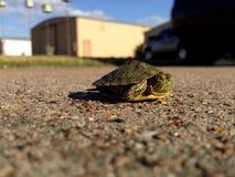 在路的小乌龟 免版税图库摄影