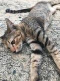 在路的小的猫 她有美丽的黄色眼睛和三颜色在她的身体 库存照片