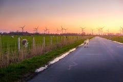 在路的小的羊羔走入日落 免版税库存照片