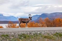 在路的小的驯鹿,山在背景中 免版税库存图片
