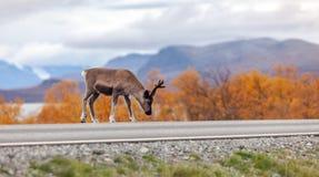 在路的小的驯鹿,山在背景中 库存图片