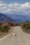 在路的山羊 图库摄影