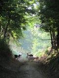 在路的山羊 库存图片