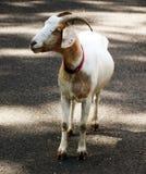 在路的山羊 免版税图库摄影