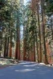 在路的巨型美国加州红杉塔 库存图片