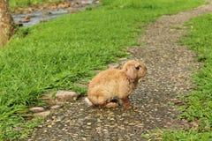 在路的兔子 库存照片