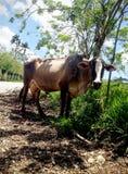 在路的母牛在多米尼加共和国 免版税库存图片
