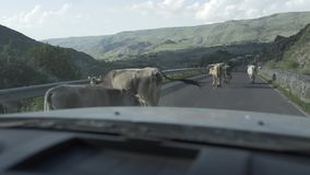 在路的母牛在英王乔治一世至三世时期高加索山脉,走 股票录像