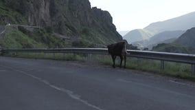 在路的母牛在英王乔治一世至三世时期高加索山脉,走 股票视频