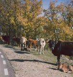 在路的母牛,卡斯蒂利亚la Mancha,西班牙 免版税图库摄影